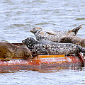 Harbour Seals Lounging Print by Sharon  Talson
