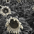 Haunting Sunflower Fields 2 Poster by Dave Dilli
