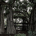 HAWAIIAN BANYAN TREES Print by Daniel Hagerman