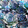 Hens and Chicks series - Evening Light Print by Moon Stumpp