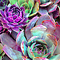 Hens and Chicks series - Urban Rose Print by Moon Stumpp