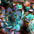 Hens and Chicks series - Verdigris Poster by Moon Stumpp