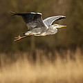 Heron in flight Print by Simon West