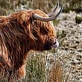 Highland Coo with tongue in nose Print by John Farnan