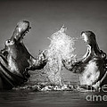 Hippo's fighting Print by Johan Swanepoel