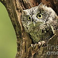 Hollow Screech- Eastern Screech Owl Poster by Inspired Nature Photography By Shelley Myke