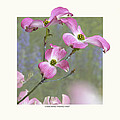 Flowering Dogwood - 'Cherokee Chief' Print by Saxon Holt