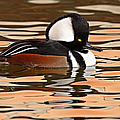 Hooded Merganser On Colorful Water Poster by Max Allen