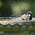 House Sparrow Washing Print by Tim Gainey