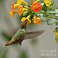 Hummingbird sips Nectar Poster by Heiko Koehrer-Wagner