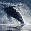 Humpback Whale Breaching In The Waters Poster by John Hyde