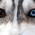 Husky Eyes Print by Keith Allen