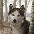 Husky in the woods Print by John Silver