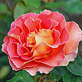 Hybrid Tea Rose  Poster by Lisa  Phillips