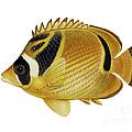 Illustration Of A Raccoon Butterflyfish Poster by Carlyn Iverson