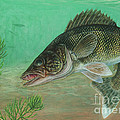 Illustration Of A Walleye Swimming Print by Carlyn Iverson