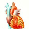 Illustration Of The Human Heart Print by Carlyn Iverson