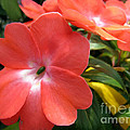 Impatiens flower Poster by Lanjee Chee