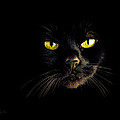 In the shadows One Black Cat Print by Bob Orsillo