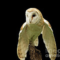 In the Still of Night Barn Owl Poster by Inspired Nature Photography By Shelley Myke