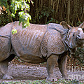 Indian Rhinoceros Print by Mark Newman