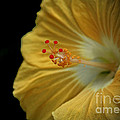 Invitation to Beauty Hibiscus Flower  Print by Inspired Nature Photography By Shelley Myke