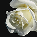 Ivory Rose Flower on Black Poster by Jennie Marie Schell