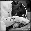 Jack Russell Terrier Dog Asleep in Cute Pose Poster by Natalie Kinnear