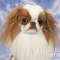 Japanese Chin Dog Poster by John Daniels