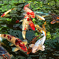 Japanese Koi Fish Pond Poster by Jennie Marie Schell