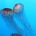 Jelly Fish 5D24945 Print by Wingsdomain Art and Photography