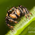 Jumping Spider Phidippus clarus I Print by Clarence Holmes