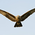 Juvenile Brahminy Kite Hovering Print by Tim Gainey