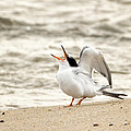 Juvenile Common Tern Square Print by Bill  Wakeley