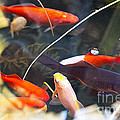 Koi Pond the Symbol of Love and Friendship Print by Artist and Photographer Laura Wrede