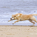 Labrador Dog Chasing Ball On Beach Poster by Geoff du Feu