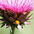 Ladybug and Thistle Print by Marilyn Hunt