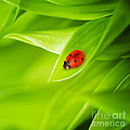 Ladybug on leaves Poster by Boon Mee