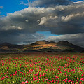Landscape of poppy fields in front of mountain range with dramat Poster by Matthew Gibson