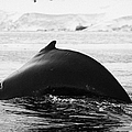 large male Humpback whale with arched back diving in Wilhelmina Bay Antarctica Poster by Joe Fox