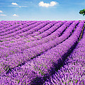 Lavender field and tree in summer Provence France. Poster by Matteo Colombo