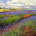 Lavender Field Poster by David Stribbling