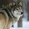 Leader of the Pack Poster by Inspired Nature Photography By Shelley Myke