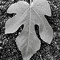Leaf on Bark Print by Andrew Brooks