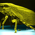 Leafhopper, Sem Poster by David M. Phillips