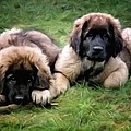 Leonberger puppies Print by Gun Legler