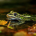 Leopard Frog Floating on Autumn Leaves Print by Inspired Nature Photography By Shelley Myke