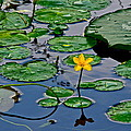 Lilly Pad Pond Print by Frozen in Time Fine Art Photography
