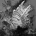 lion fish black and white Print by Tessa Fairey