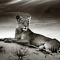 Lioness on desert dune Print by Johan Swanepoel